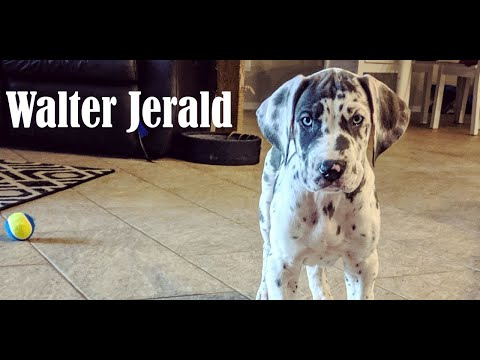 my-new-dog-walter-jerald-the-great-dane...coming-soon!