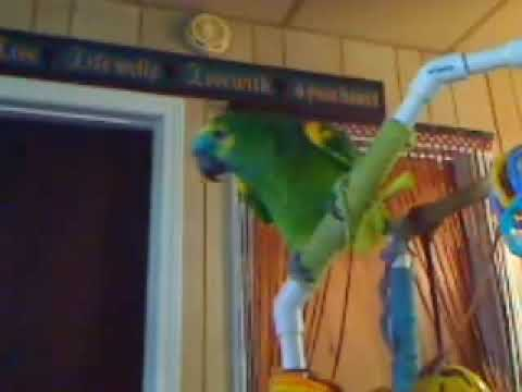 "Blue Front Amazon Parrot ""Nelly"" Talking and Screaming"