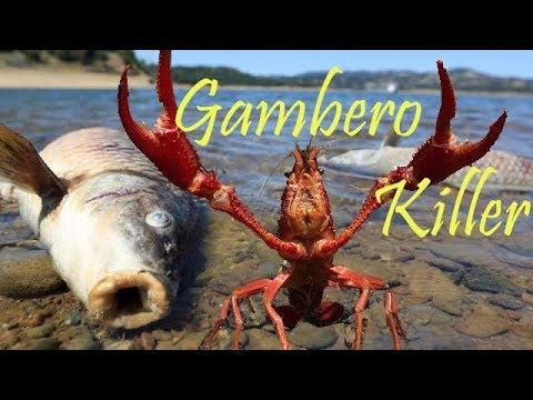 Il Gambero Killer (Procambarus Clarkii) -SCHEDA-