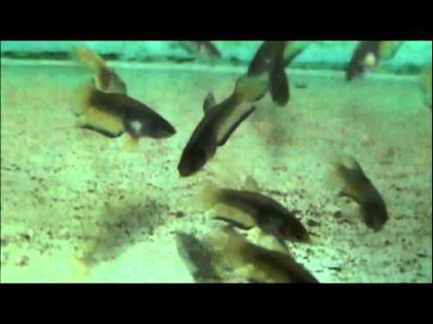 Peces ornamentales piura mis bettas doovi for Cria de peces ornamentales