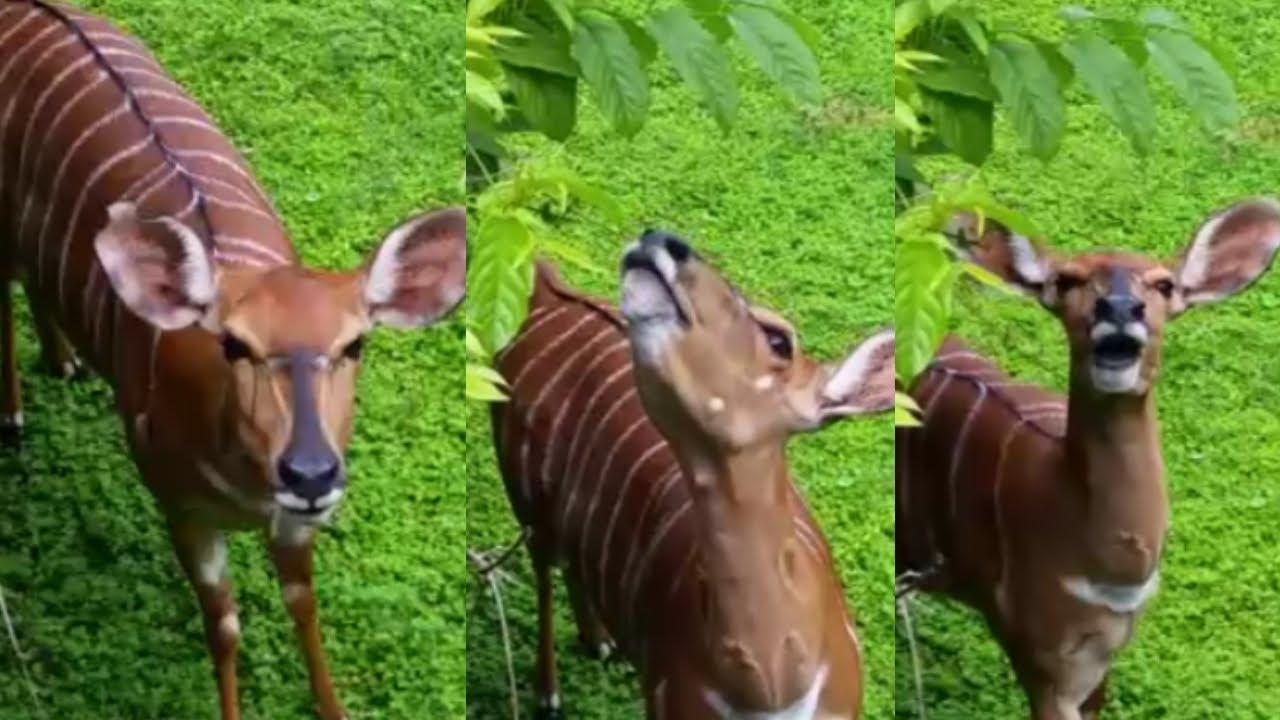 Curious Female Bongo at Bush Gardens! (and Gazelles)