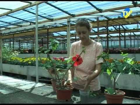comment tailler un hibiscus de jardin jardinerie truffaut tv funnydog tv. Black Bedroom Furniture Sets. Home Design Ideas