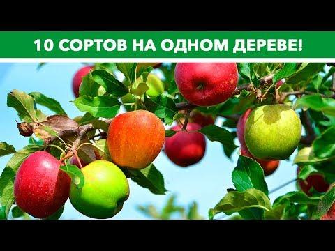 10 сортов яблок на одном дереве - это не миф!