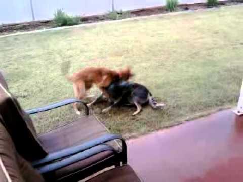 Dingo v/s blue healer