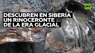 VIDEO. Encontraron un rinoceronte lanudo de la Era de Hielo