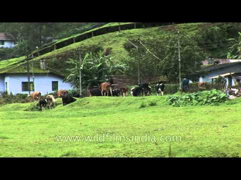 Cattle grazing in the meadows at Munnar town