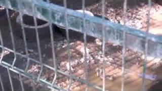 Siberian Husky Kennel In Mallorca, Spain Pt. 2