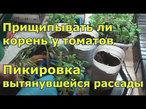 Прищипывать ли главный корень при пикировке томатов.  Что делать с вытянувшейся рассадой .