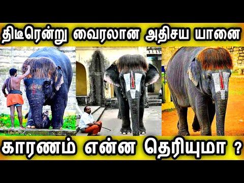 திடீரென்று-வைரலான-அதிசய-கோவில்-யானை-காரணம்-இதுதான் pop-cut-sengamalam-elephant tranding-news-tamil