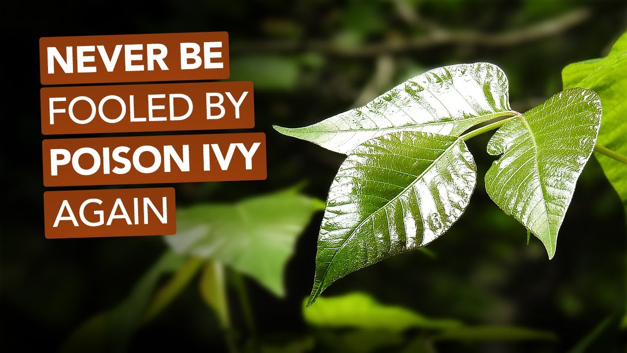 Never Be Fooled By Poison Ivy Again