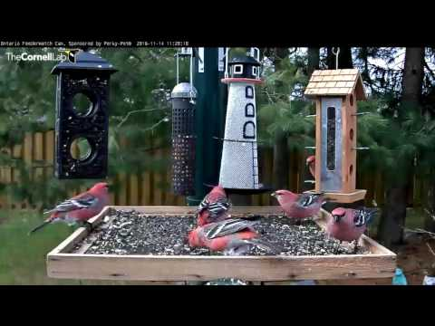 Male Pine Grosbeaks Congregate In Ontario - Nov. 14, 2016