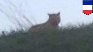 仏パリ市郊外のモンテブランで11月13日、トラとみられるネコ科の動物が...