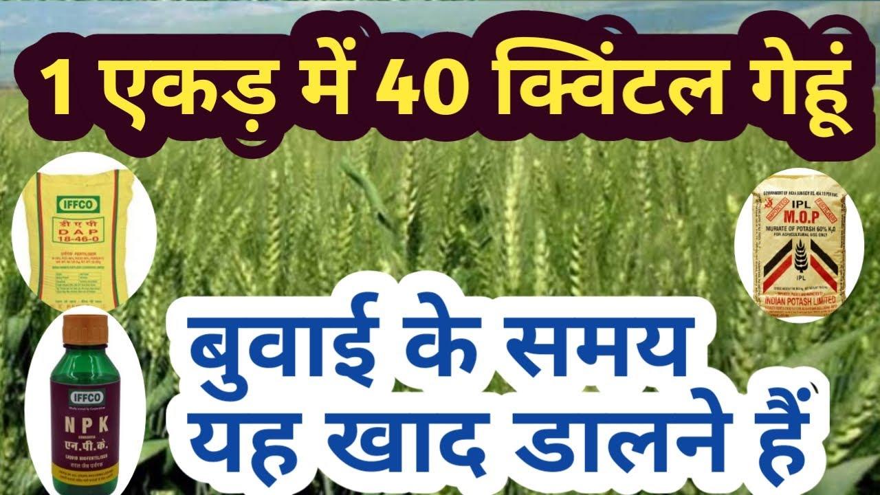 गेहूं की बुवाई के समय इन खाद का उपयोग कर लिया तो पैदावार होगी 1 एकड़ में 40 क्विंटल | gehu ki kheti