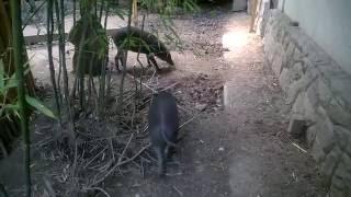 Visayan warty pig - Budapest Zoo and Botanical Garden