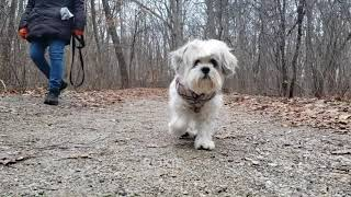 Roxie 15 Year Old Lhasa Apso Plus Dog Friends At Erin Woods December 13, 2020