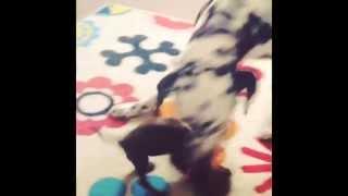 Dalmatian And Dachshund