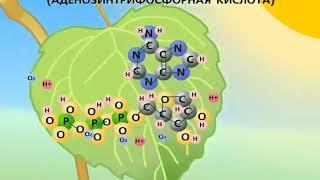 Фотосинтез(, 2018-05-08T11:39:58.000Z)