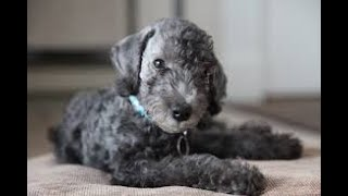 #27 BEDLINGTON TERRIER 1/3 | Which Dog Should I Get? Dog Breed Selector
