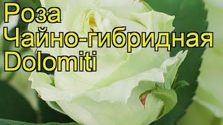 Роза чайно-гибридная Доломити. Краткий обзор, описание характеристик, где купить Dolomiti