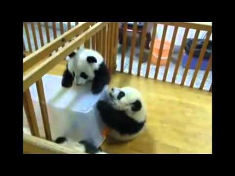 Панда резвится в снегу -