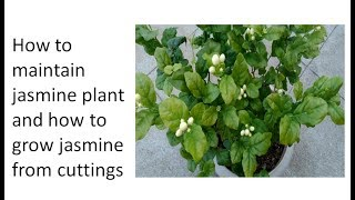 How to maintain jasmine plant and how to grow jasmine from cuttings