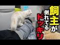 【ドッキリ】飼主が倒れてたら猫はどんな反応をするのか