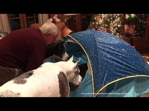 Grandpa Has Fun Playing With Great Danes and Cats in Tent