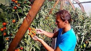 ПОМИДОРЫ   Самоподвязка томатов на сетке - ленивый огород