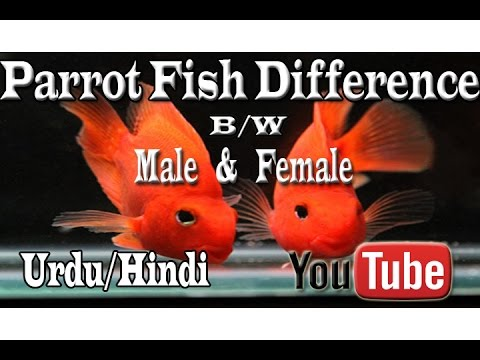 Parrot Fish Difference Between Male & Female Urdu/Hindi