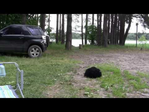 2012 Petro dienų grėsmingas Gyvuliukas