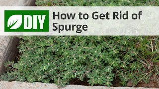 How to Get Rid of Spurge