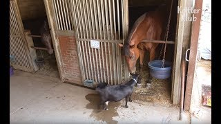 Horse And Goat Have A Stable Love Affair | Kritter Klub