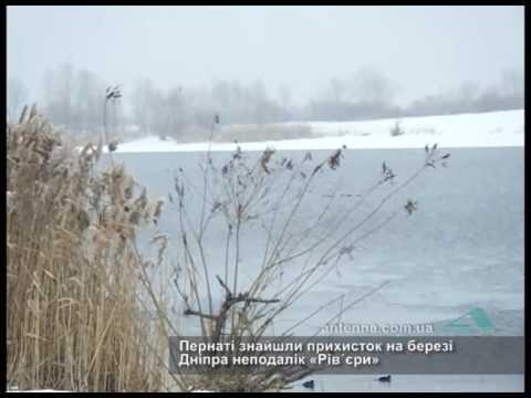 На черкаському пляжі зимують дикі качки