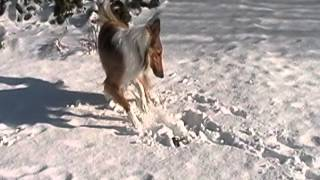 Collie Dog Loves Playing In Snow!