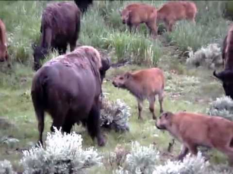 Inside Yellowstone - Bison or Buffalo
