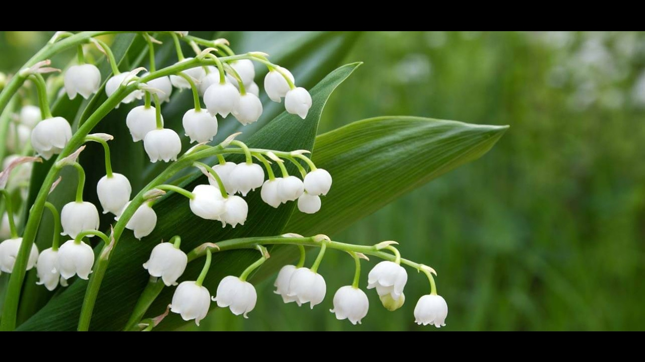 Unwins Lily Of The Valley Scentastic Basket Bundle Youtube
