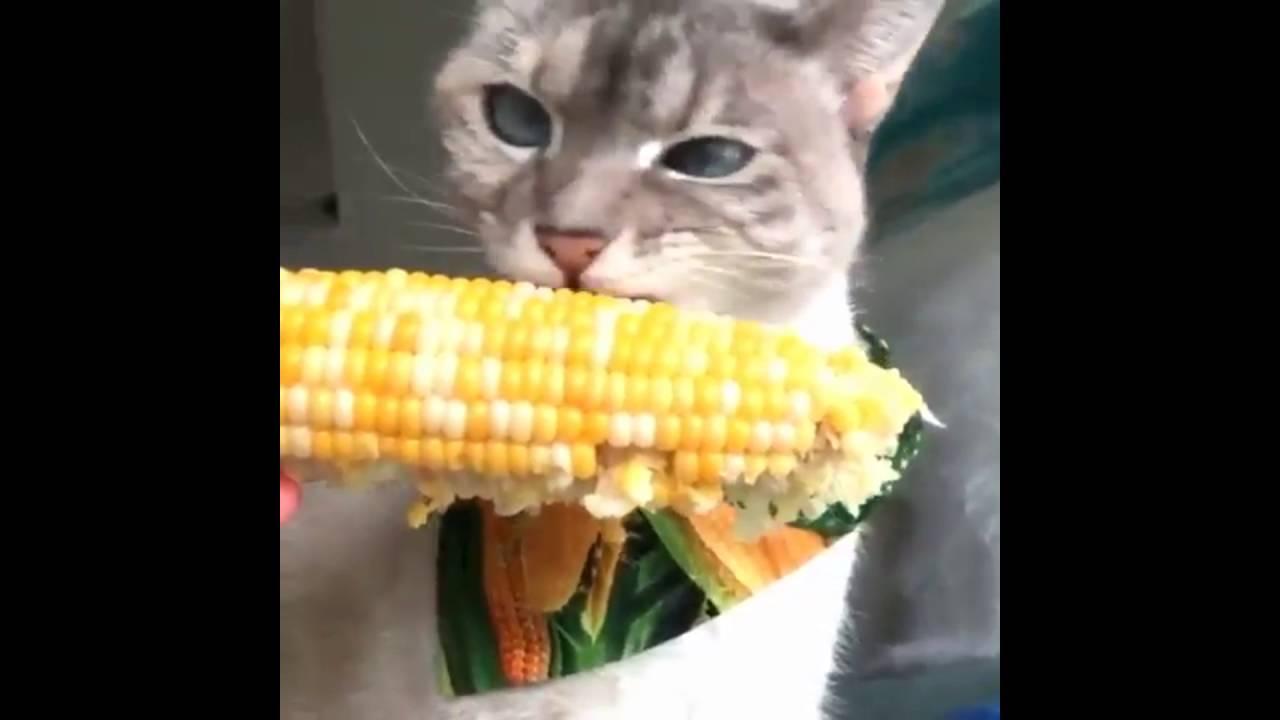 Cat Eating Corn On The Cob Video