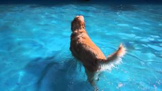 Dog Swimming Festival In Seoul With ★ Polangpolang / 골든리트리버 Didi Golden Retriever Dog