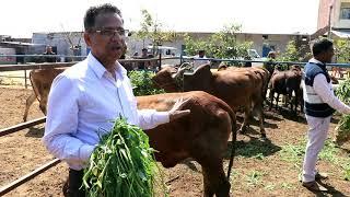उत्तर प्रदेश में सरवश्रेष्ठ देसी गायों का डेयरी फार्म | Best Desi Cows Dairy Farm in Uttar Pradesh