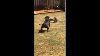 Dog playing with sprinkler tractor