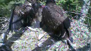 Humboldt Bay eagles,parent does a food drop wow,7/1/13