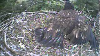 Humboldt Bay eagles,mom delivers a prey & mama says let go of my foot Kyle lol,8/10/13
