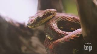 T. Swift embraces the snake label. What do real snakes think? | The Washington Post Comedy + Satire