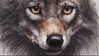 My Drawing Wolf
