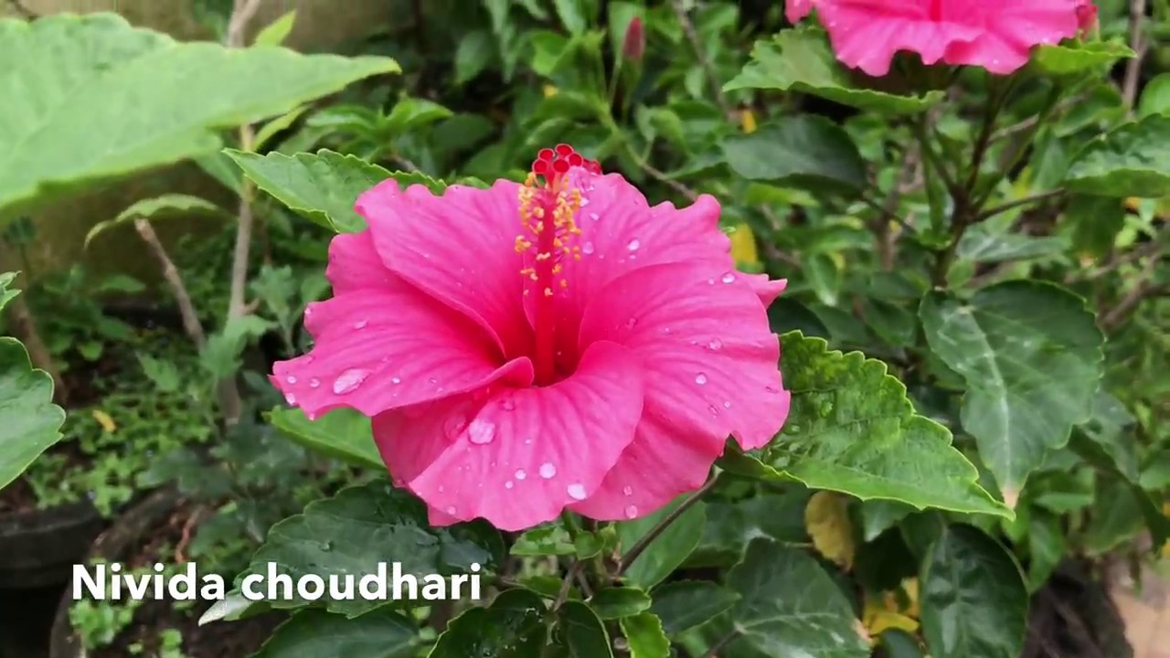 Different types of hibiscus flower how to plant grow and care different types of hibiscus flower how to plant grow and care izmirmasajfo Image collections