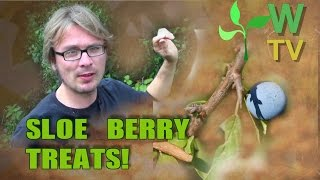 Video Sloe Berries. The Sloe Berry is a Forager's Favorite! download MP3, 3GP, MP4, WEBM, AVI, FLV November 2017