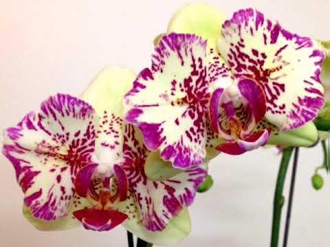 Орхидеи фаленопсис 1,7.