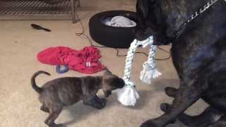 Little Female Puppy Out Pulls Large Male Bulldog.
