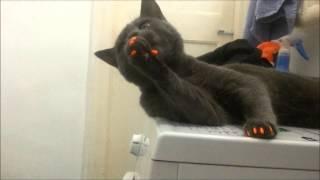 Кот с колпачками на когти(С этими колпачками он должен перестать царапать мебель и обои. Работает, но рефлекс у него сохраняется,..., 2015-01-17T09:18:33.000Z)
