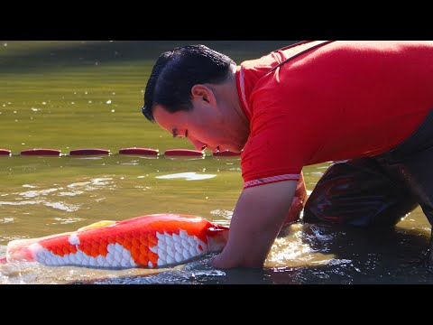 THE RISE OF THE JAPANESE KOI | HD DOCUMENTARY